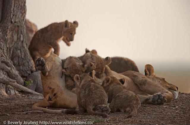 lots-of-lion-cubs