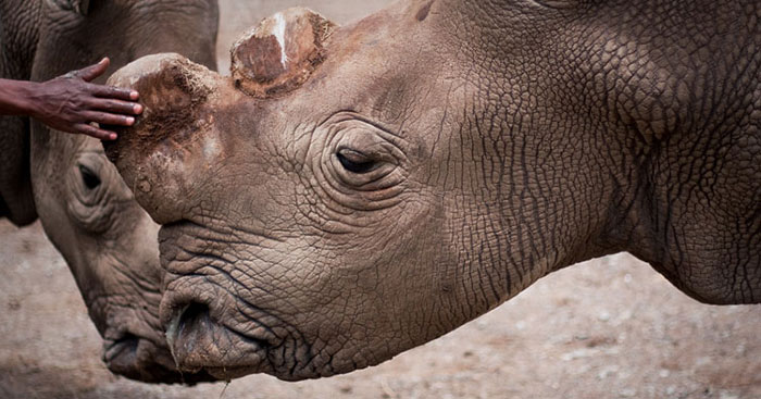 Suni was one of the four northern white rhinos residing on Ol Pejeta. He was 34 years old.