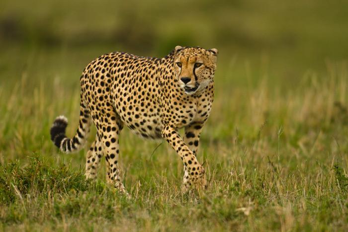stalking-cheetah