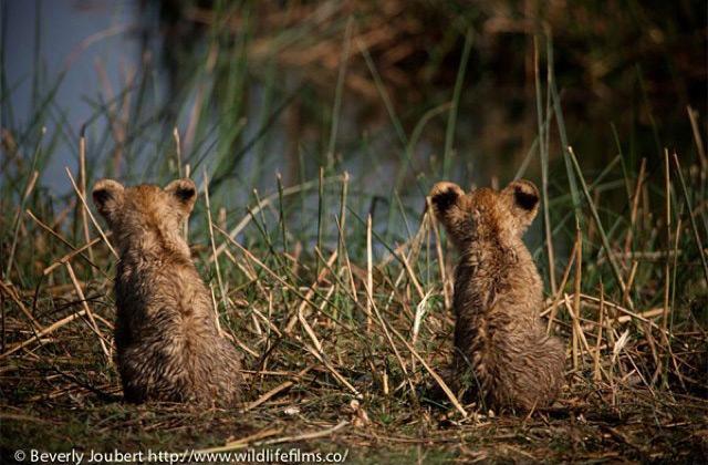 wet-lion-cubs