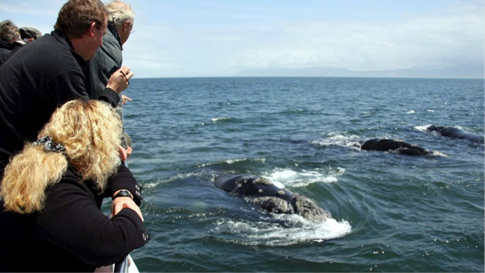 whale-watching-gansbaai