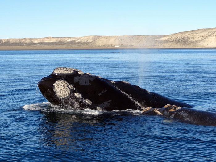 whales-gaansbaai