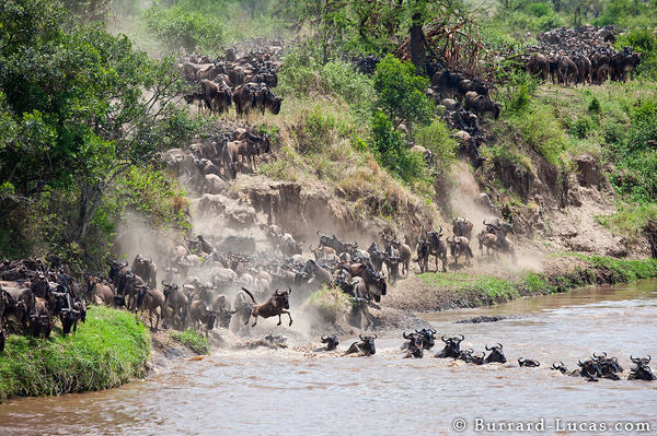 Wildebeest Crossing