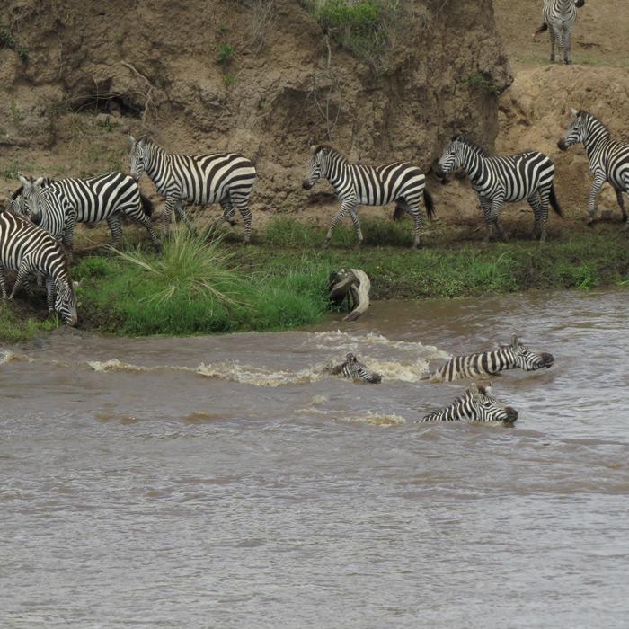 A fateful zebra crossing - Africa Geographic