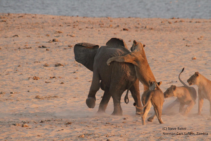 14-lions-attack-elephant