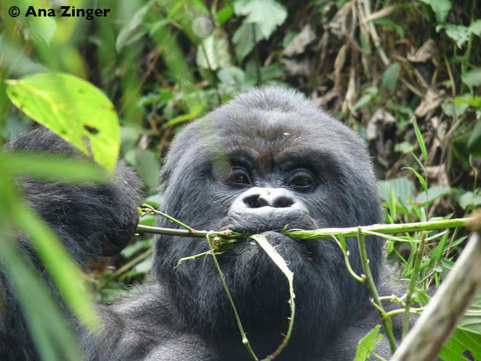 Mountain-Gorillas-trekking-Rwanda1-700x525