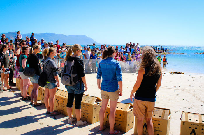 Volunteers get ready to release 12 endangered African penguins back into the wild at Seaforth Beach for African Penguin Awareness Day on 11 October 2014. © SANCCOB