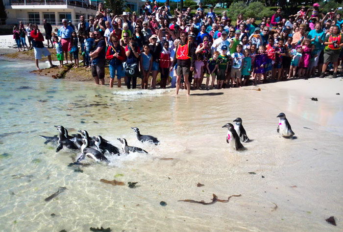 12 endangered African penguins are released back into the wild at Seaforth Beach as Penguin Festival goers look on. © Nick King