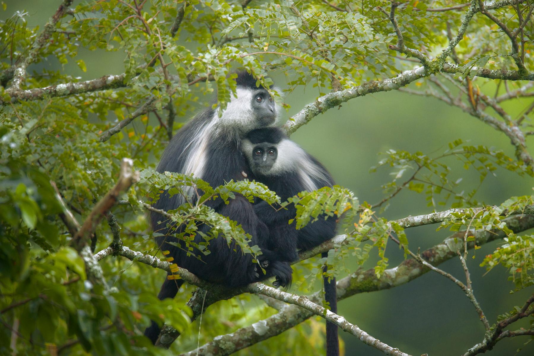 RWANDA_colobus_monkeys_nyungwe_forest