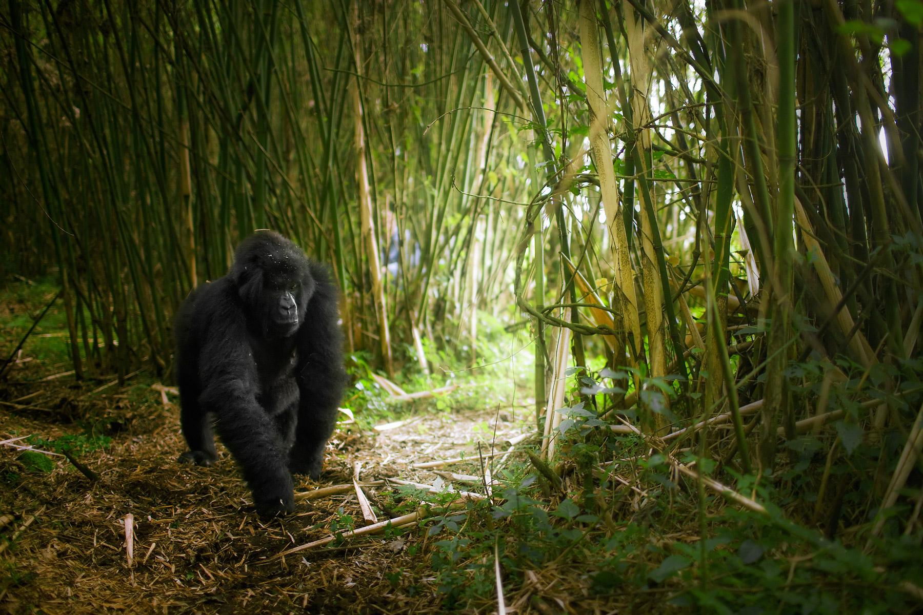 RWANDA_female_mountain_gorilla_bamboo_jungle