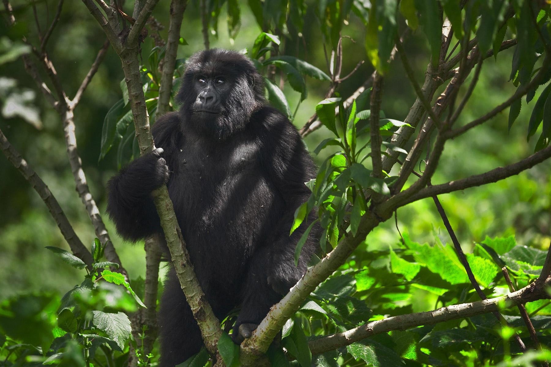 RWANDA_mountain_gorilla_in_tree_