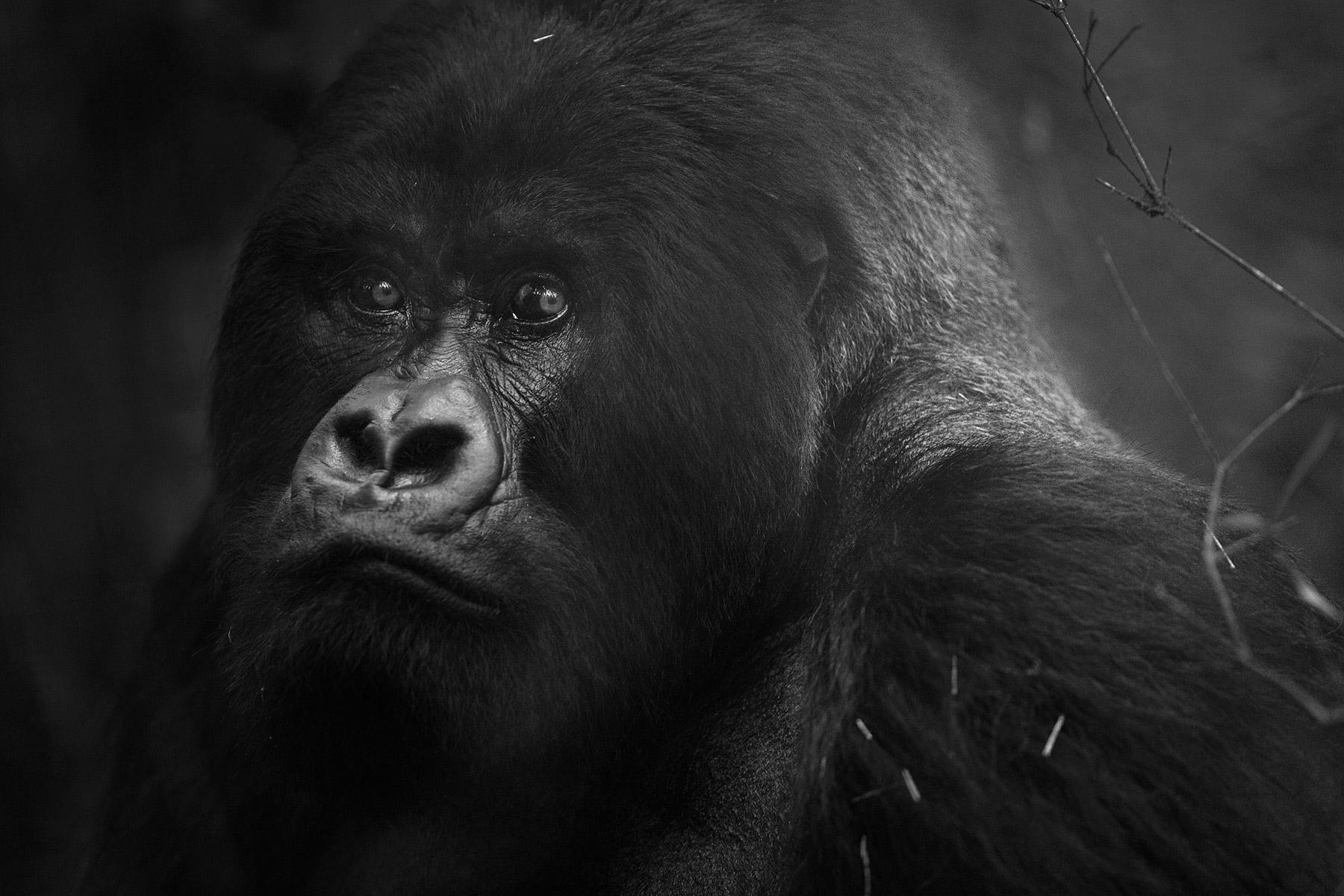 RWANDA_mountain_gorilla_silverback