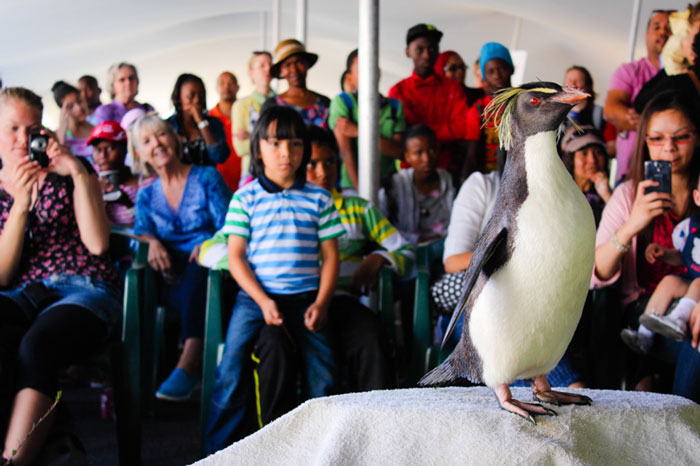 SANCCOB's ambassador Rockhopper penguin, Rocky, entertains the crowd at the Penguin Festival. © SANCCOB