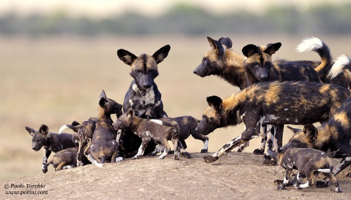 5 Reasons Why Wild Dogs Are Extraordinary Africa Geographic