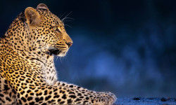 Zimanga-private-game-reserve-leopard-700x467