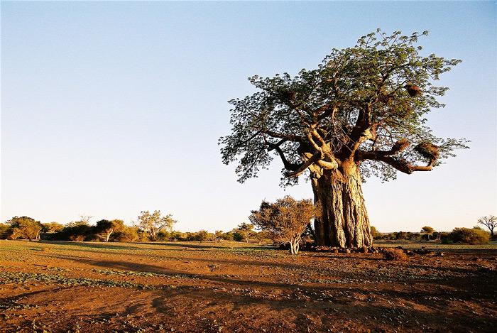 baobab-3