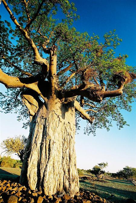 baobab-4