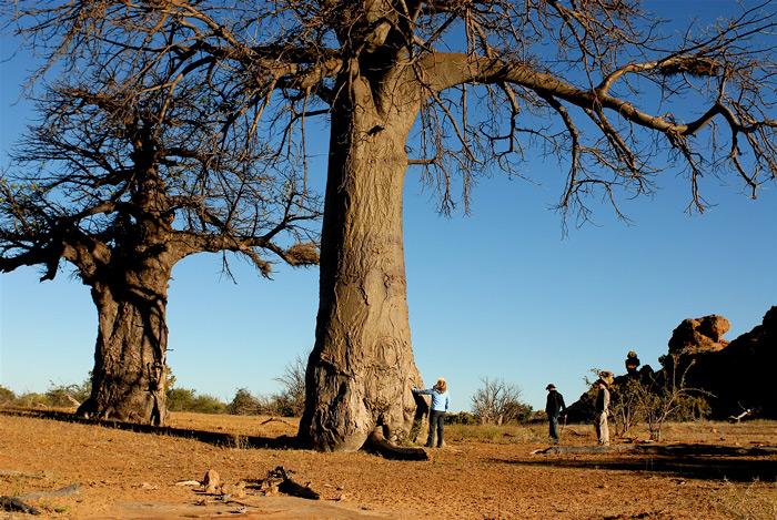 baobab-people