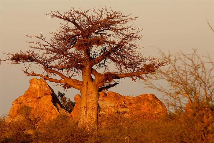 baobab-&-rock