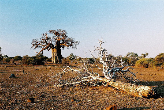 baobab-&-tree-in-foreground