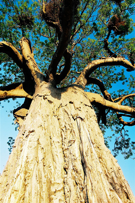 baobab-trunk