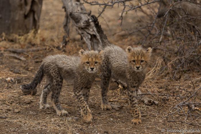 cub cuteness cheetah or hyena africa geographic
