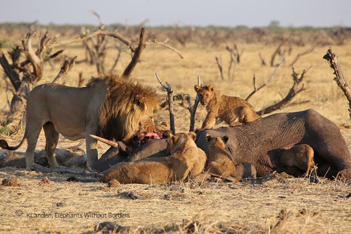 elephant-killed-by-lions-savuti