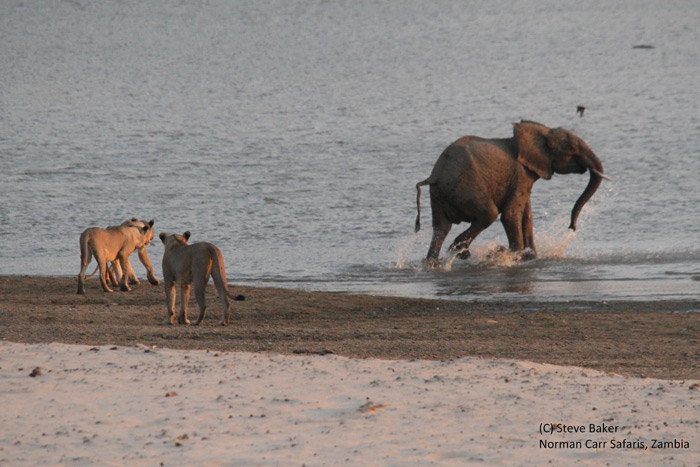 elephant-vs-lions