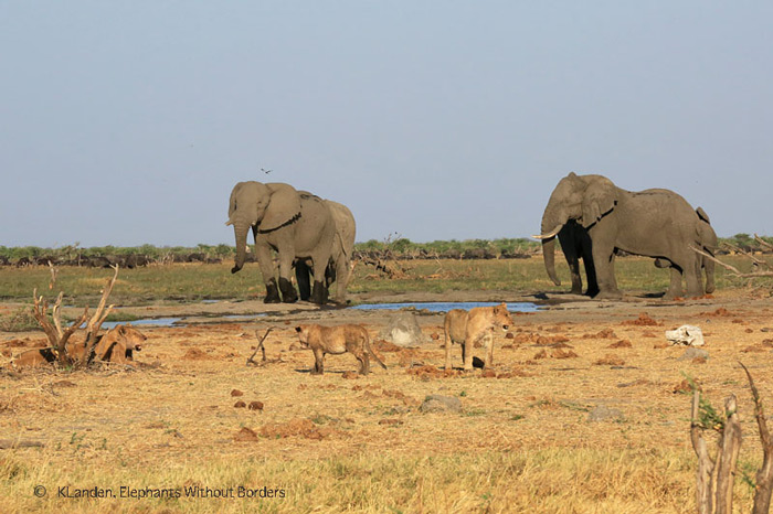 elephants-and-lions-in-savuti
