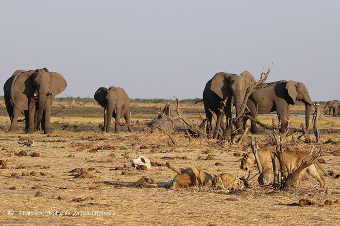 elephants-and-lions-savuti