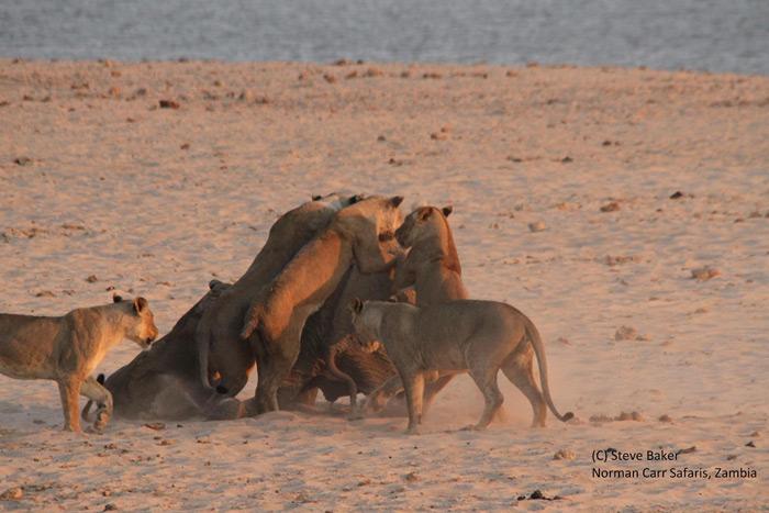 lions-attack-elephants