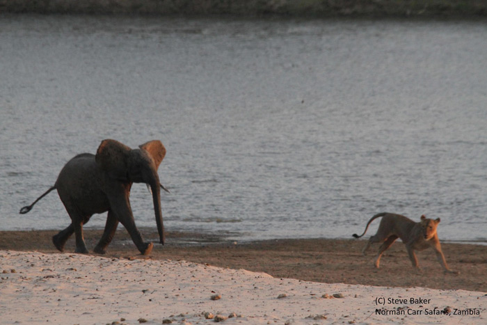 lions-vs-elephant