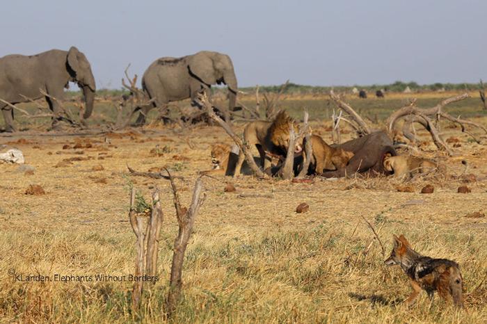 lions-with-elephant-kill-savuti