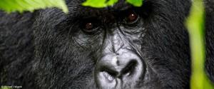 mountain-gorilla-trek-rwanda