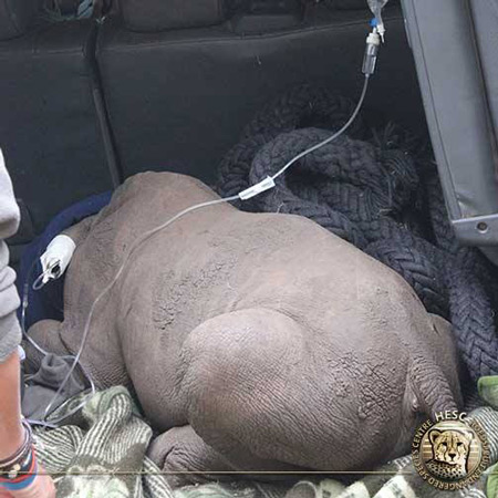 orphaned-baby-rhino-rescue