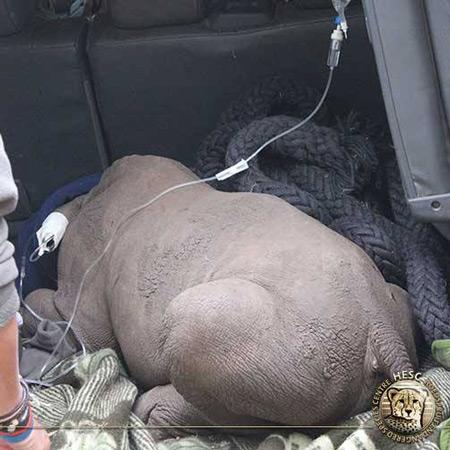orphaned-baby-rhino-rescue