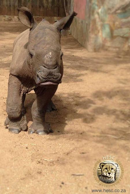 rescue-baby-rhino