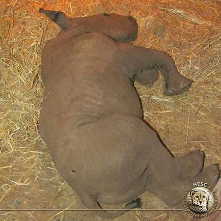 rescue-orphaned-baby-rhino