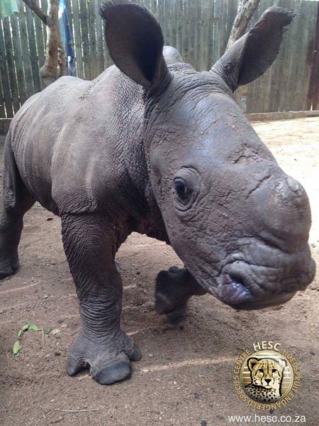 rescuing-baby-rhino