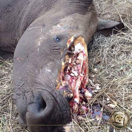 rhino-horn-poaching