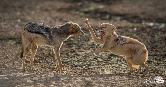 Africa-Photography-Corlette-Wessels-Jackal