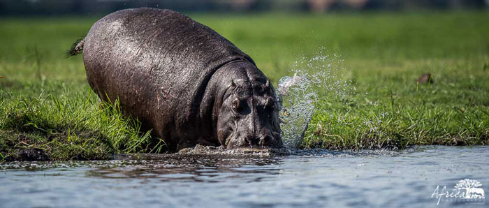 Africa-Photography-Corlette-Wessels-hippo