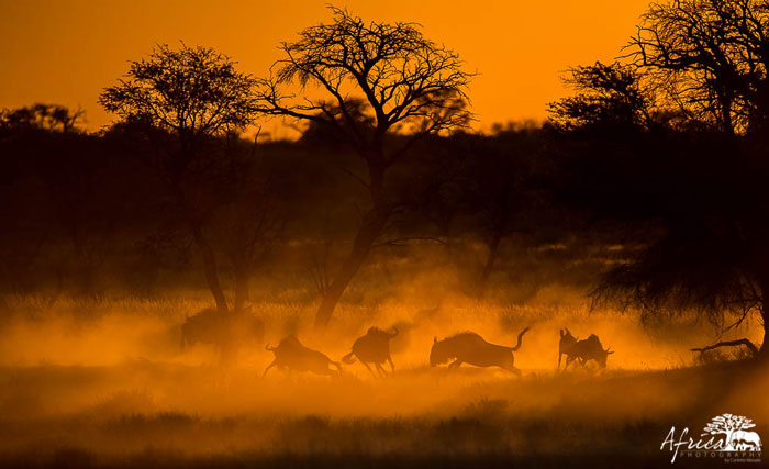 Africa-Photography-Corlette-Wessels-wildebeest-sunset