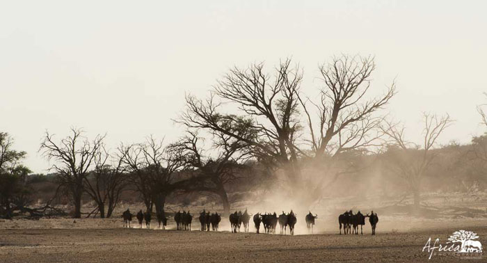 Africa-Photography-Corlette-Wessels-wildebeest