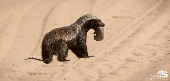 Africa-Photography-Honey-Badger