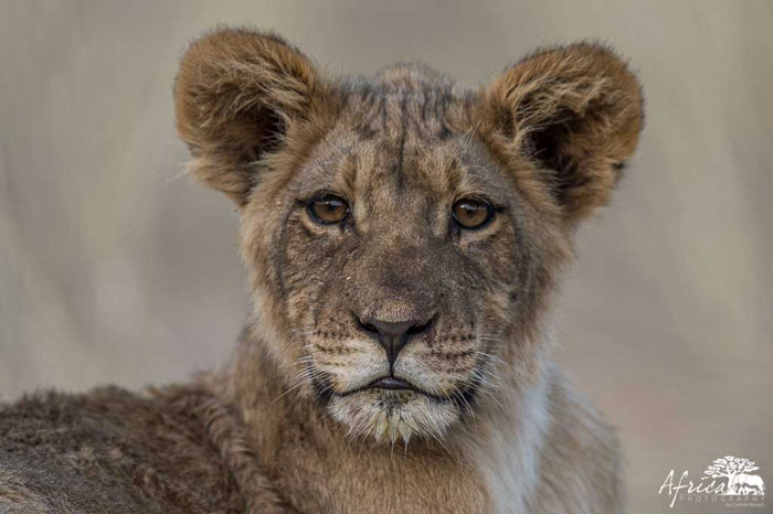 Africa-Photography-Lion-cub