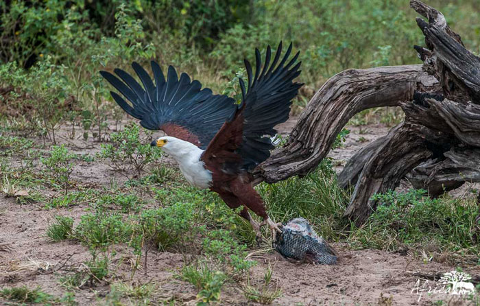 Fish-eagle-Africa-Photography-Corlette-Wessels