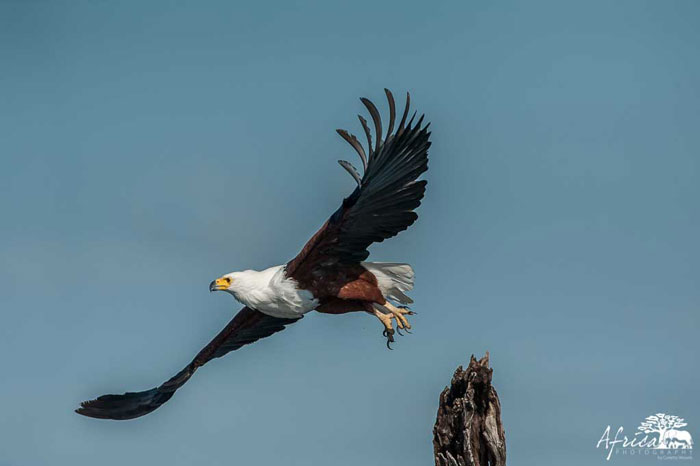 Fish-eagle-Africa-Photography