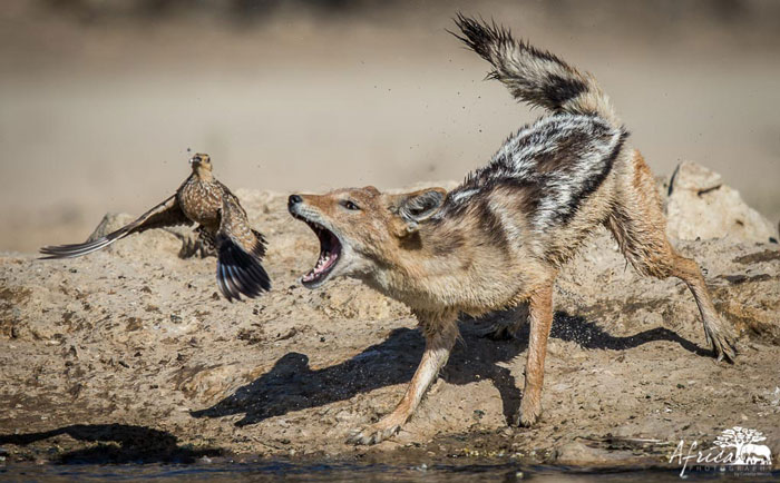 Jackal-grouse-Kalahari
