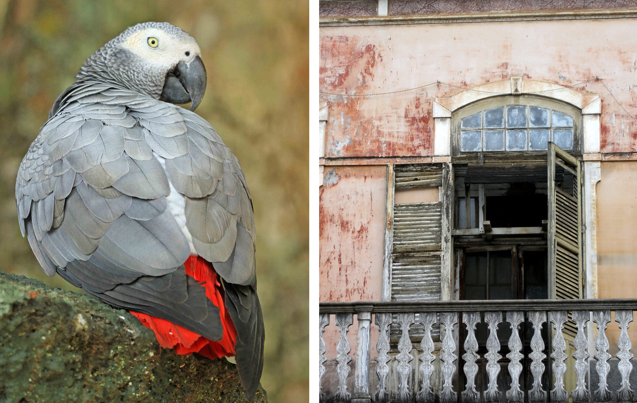 Principe-Gray-Parrot and balcony -Christian-Boix